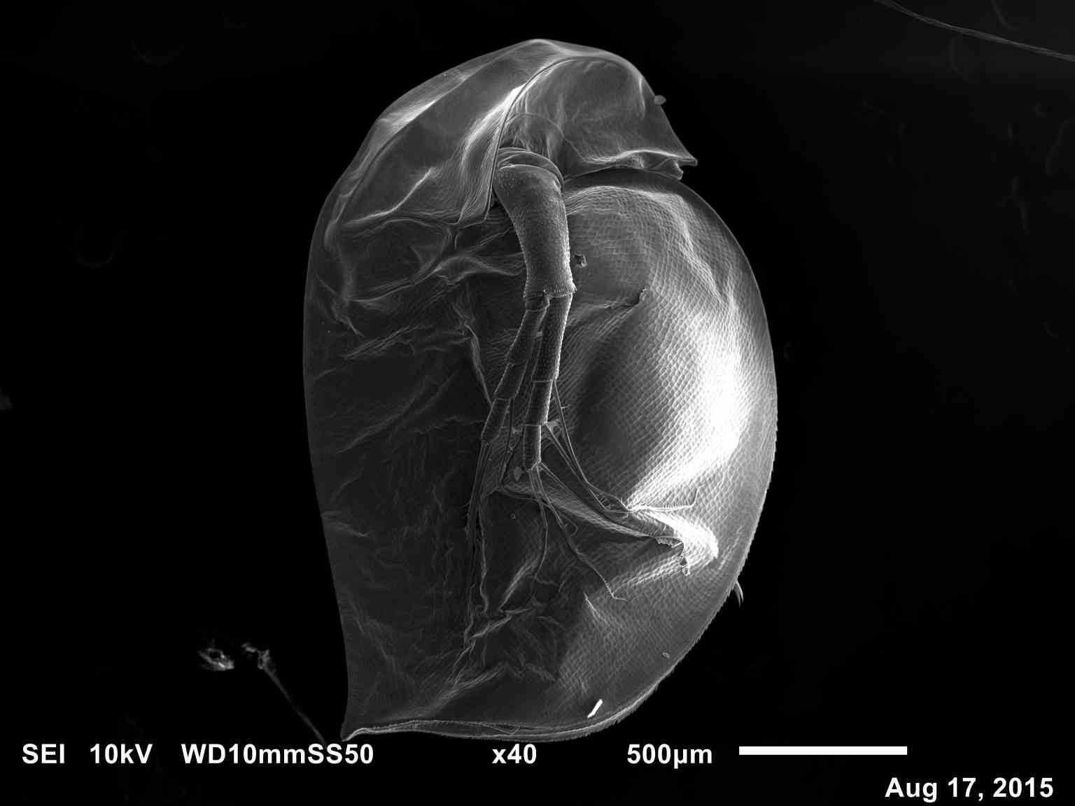 File:Daphnia magna1-SEM microphotograph.jpg - Wikimedia Commons