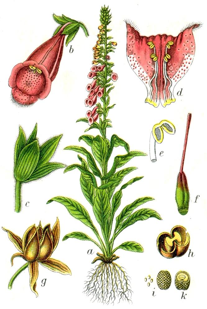 Depiction of Digitalis purpurea
