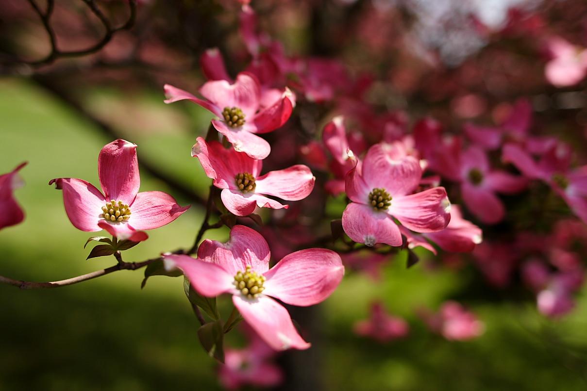 File Dogwood Pink Bloom West Virginia Forestwander Jpg