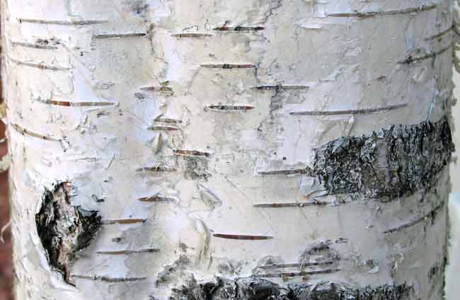 Making and crafts faux birch bark for White birch log crafts