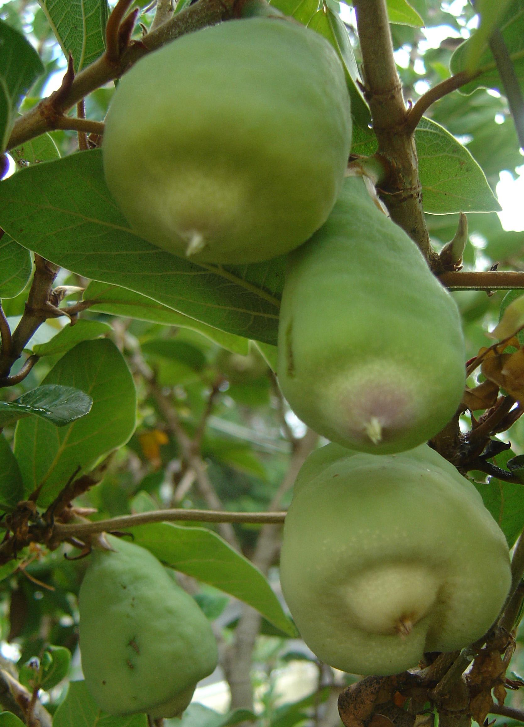 fileficus pumila fruits raeajpg wikimedia commons
