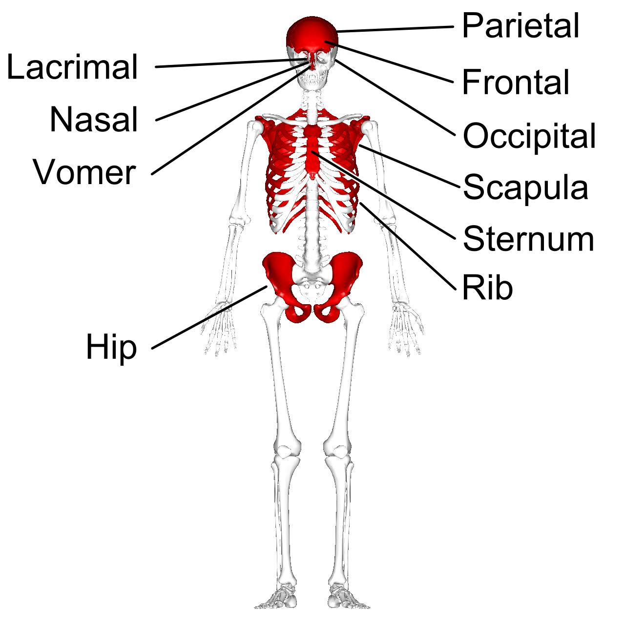 Fileflat Bones Anterior View With Legendg Wikimedia Commons