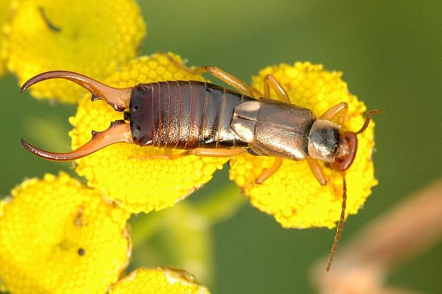 oorwurm (bron: wikipedia)