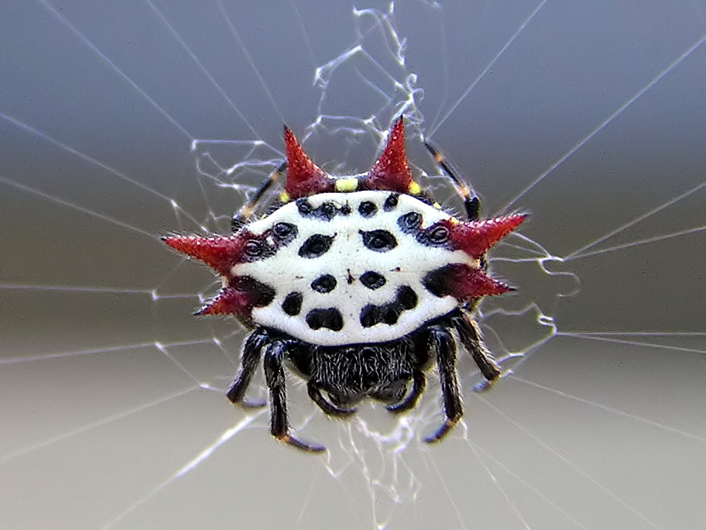 gasteracantha cancriformis wikipedia. Black Bedroom Furniture Sets. Home Design Ideas