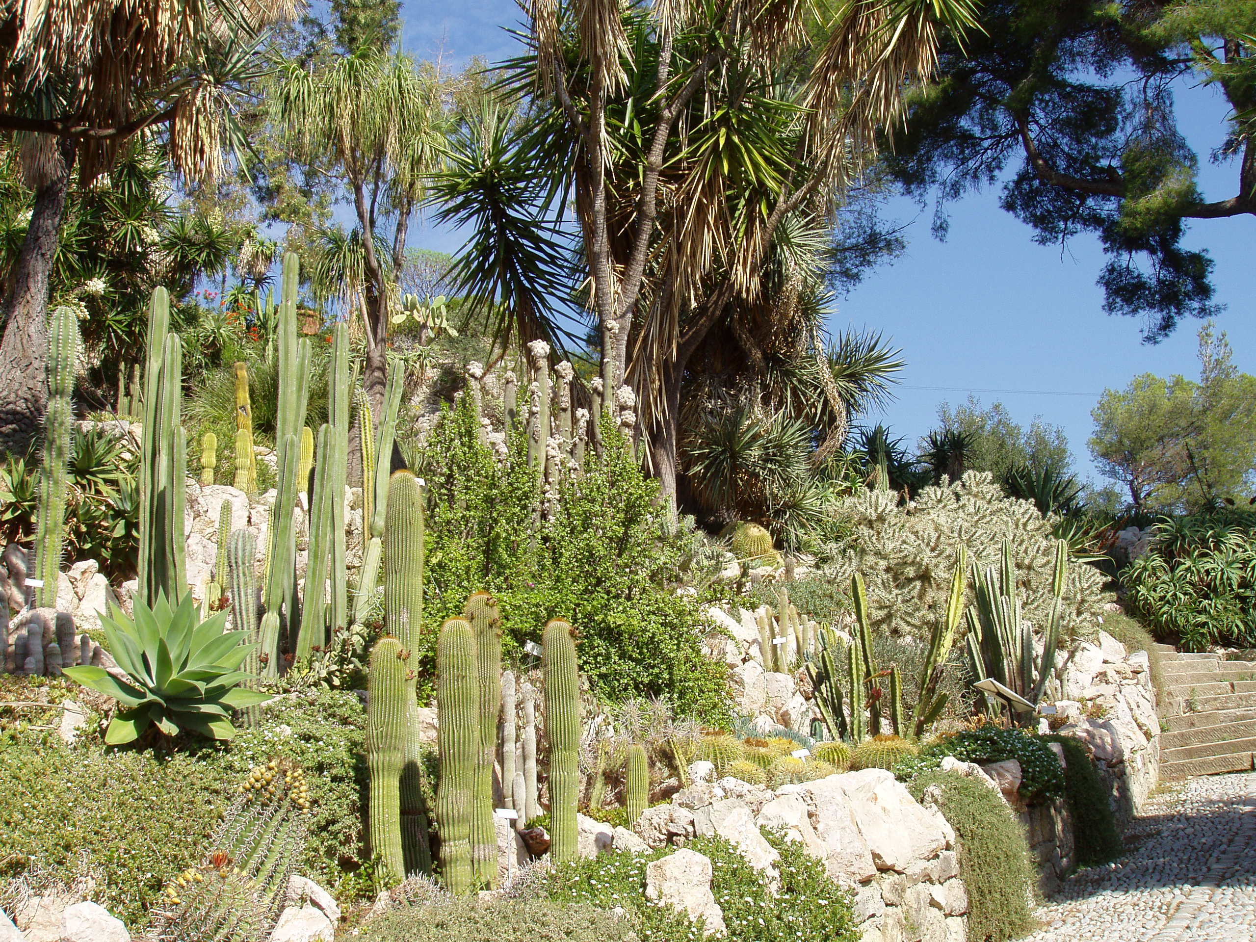 file giardini botanici hanbury cacti jpg wikimedia commons