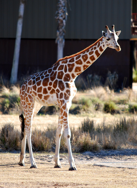 Giraffa camelopardalis - Disney's Animal Kingdom Lodge - 01- 2010-01-19.jpg