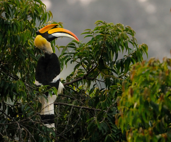 File:Great-Hornbill.jpg