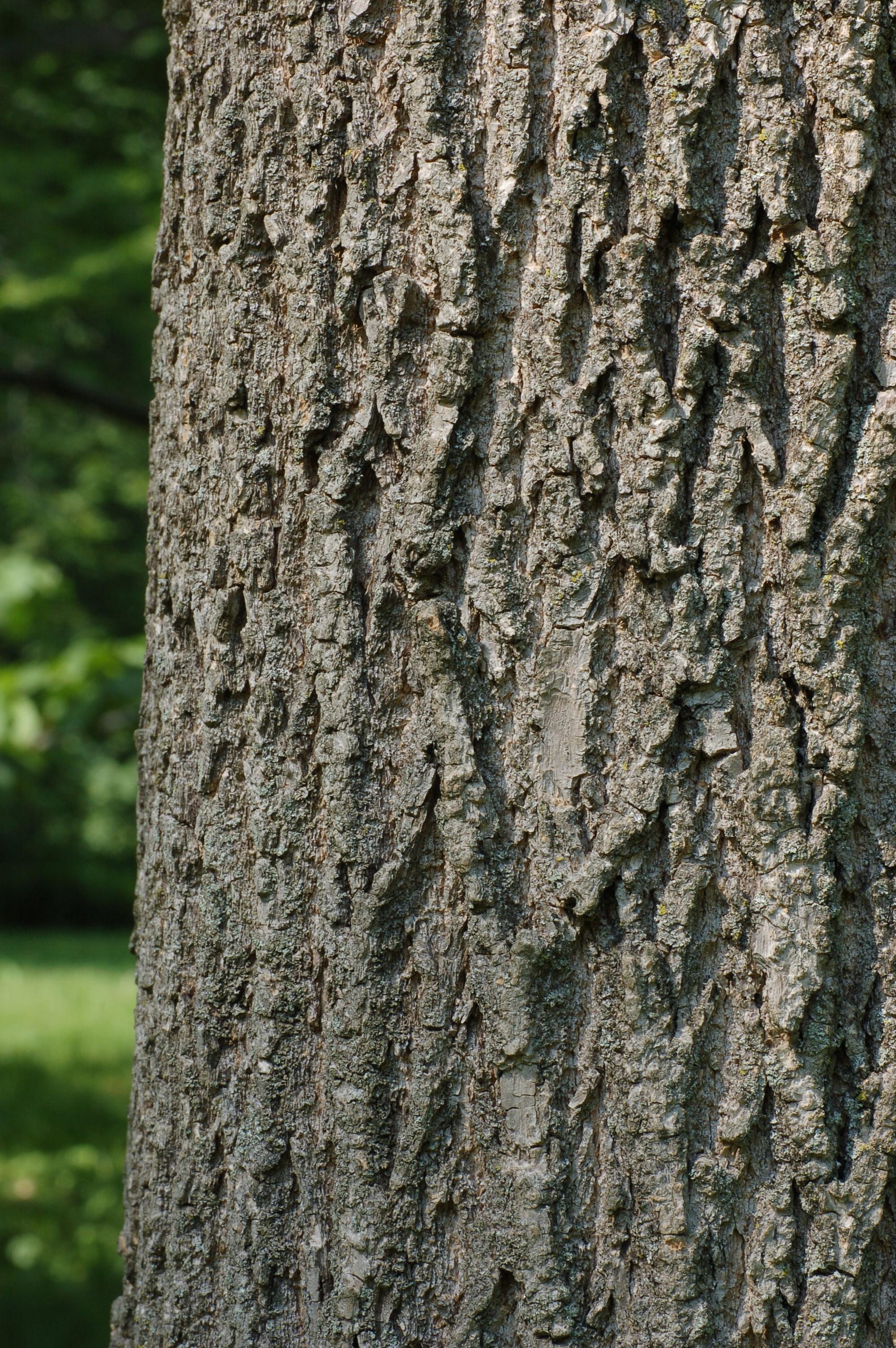 Green Ash Tree Bark