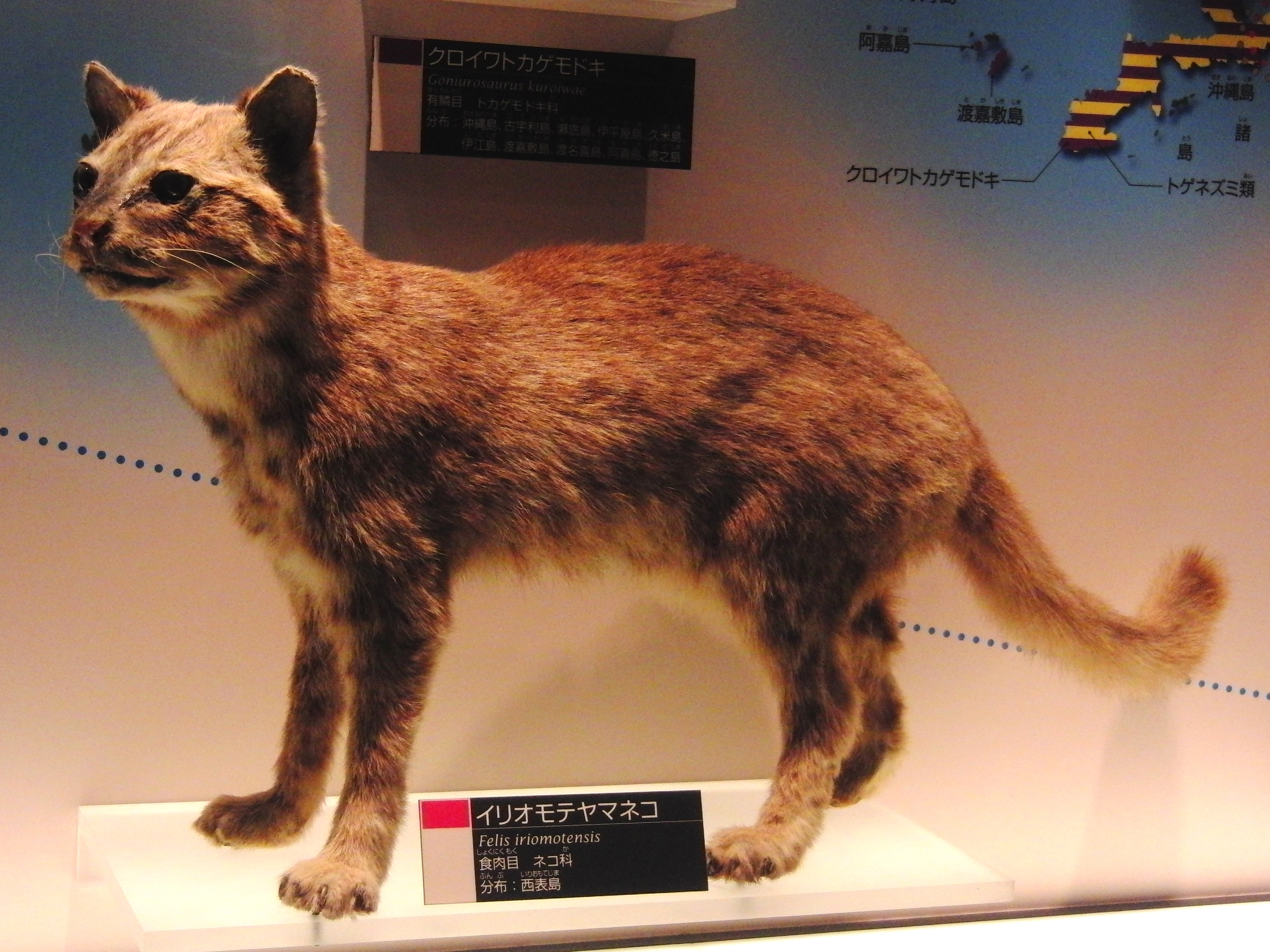 https://upload.wikimedia.org/wikipedia/commons/f/f7/Iriomote_cat_Stuffed_specimen.jpg