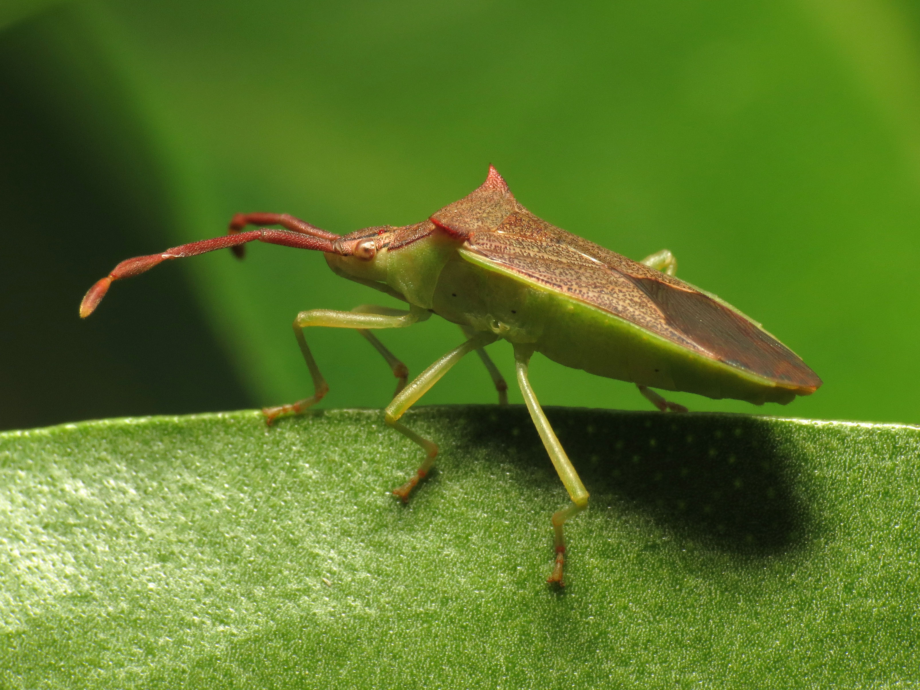 File:Leaf-footed Bug (16105784975).jpg - Wikimedia Commons