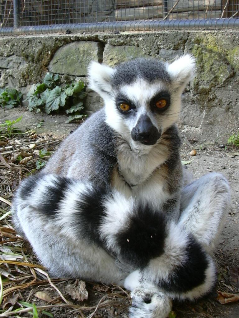 lemur katta  u2013 wikipedia  wolna encyklopedia
