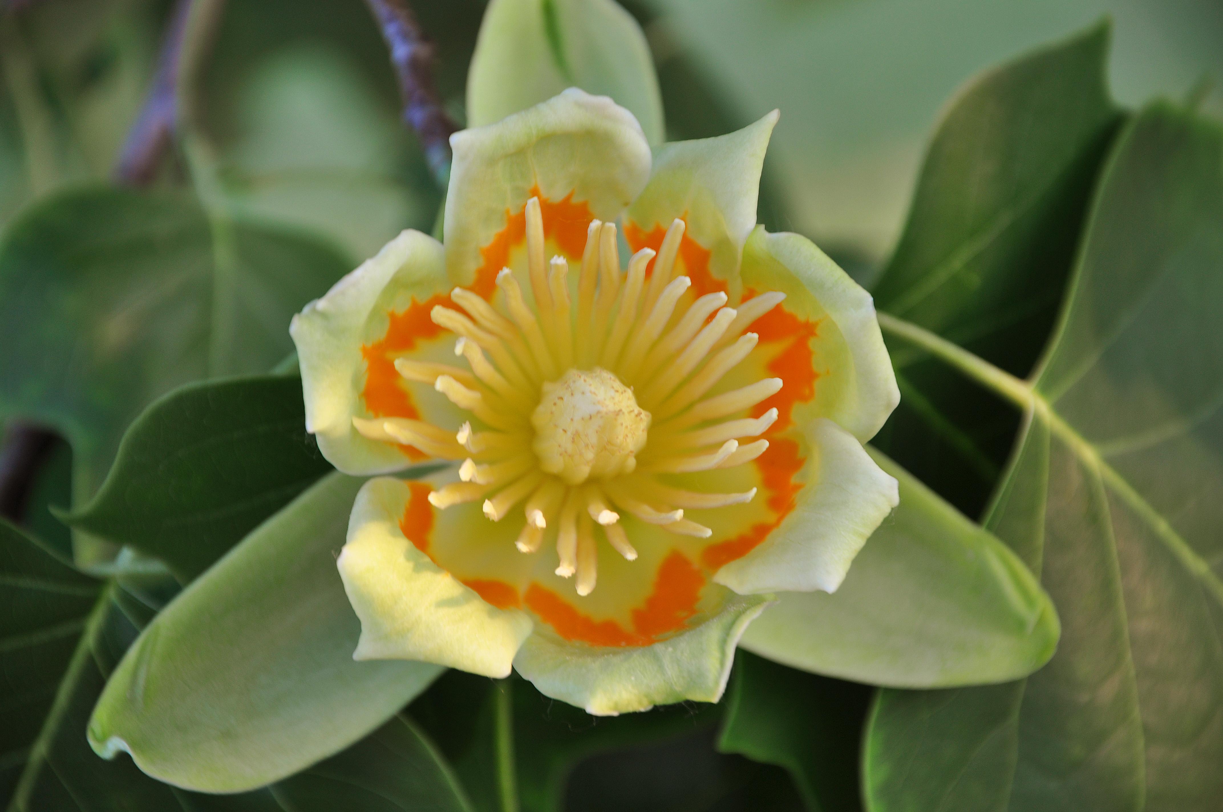 Liriodendron Tulipifera Flower File:Liriodendron tuli...