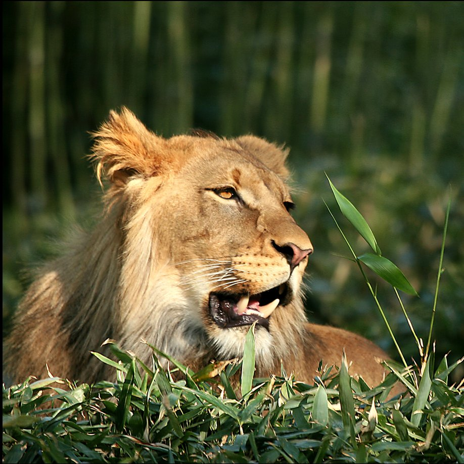 The gallery for --> Lion Roaring Side View