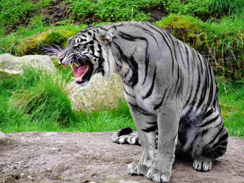 black tiger animal - photo #32