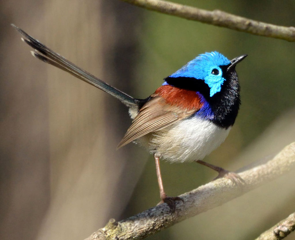 Here's an example of a fairy wren that you might spot in Raven Street Reserve, McDowall, Brisbane, when you are mowing lawns in McDowall, lawn mowing services Brisbane, lawn mowing services McDowall, GreenSocks