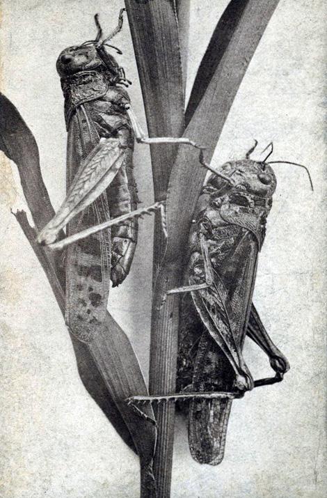 [Image: Minnesota_locusts.jpg]