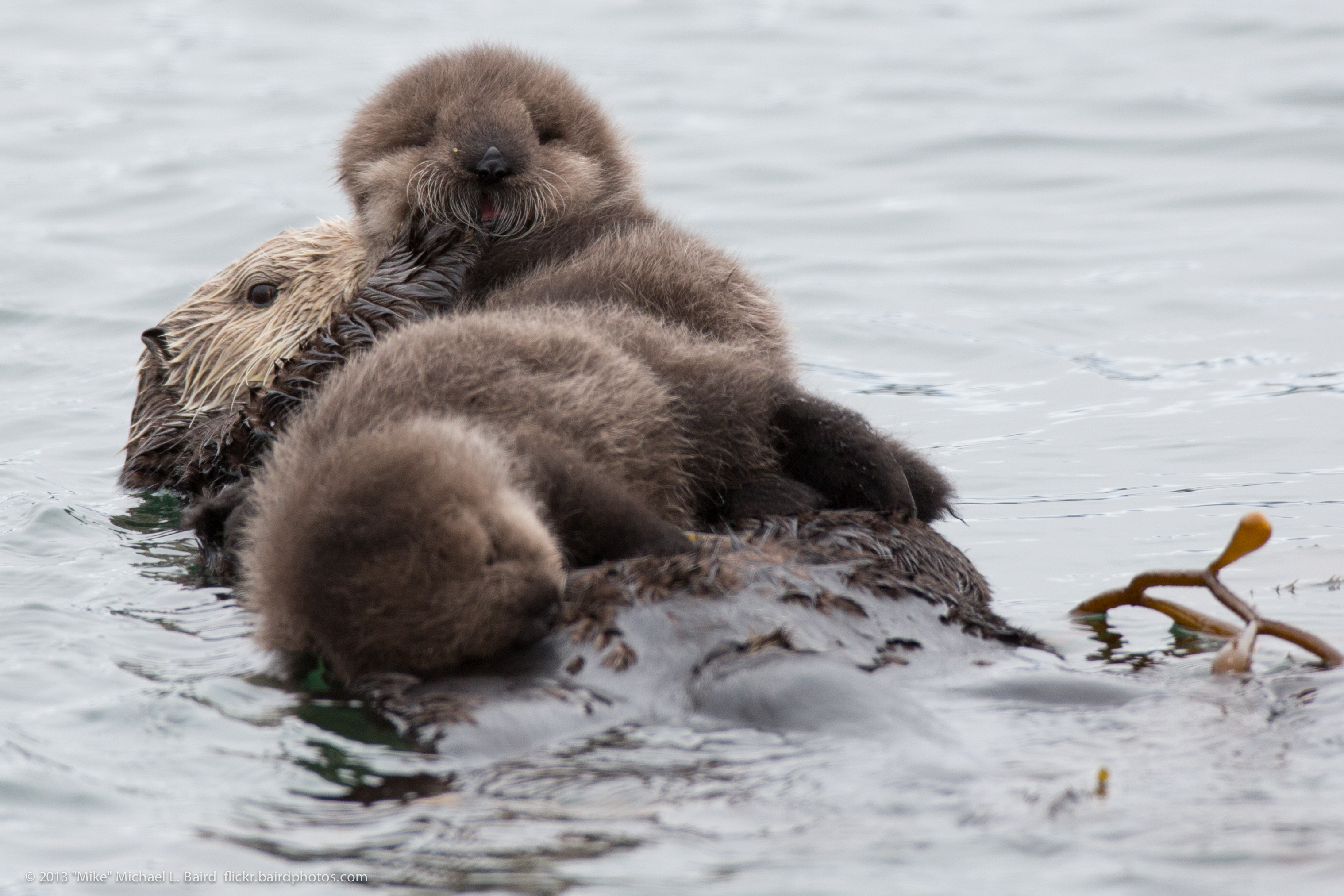 Filemother Sea Otter With Rare Twin Baby Pups 9139425522jpg