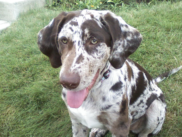 Catahoula Dog Puppies For Sale