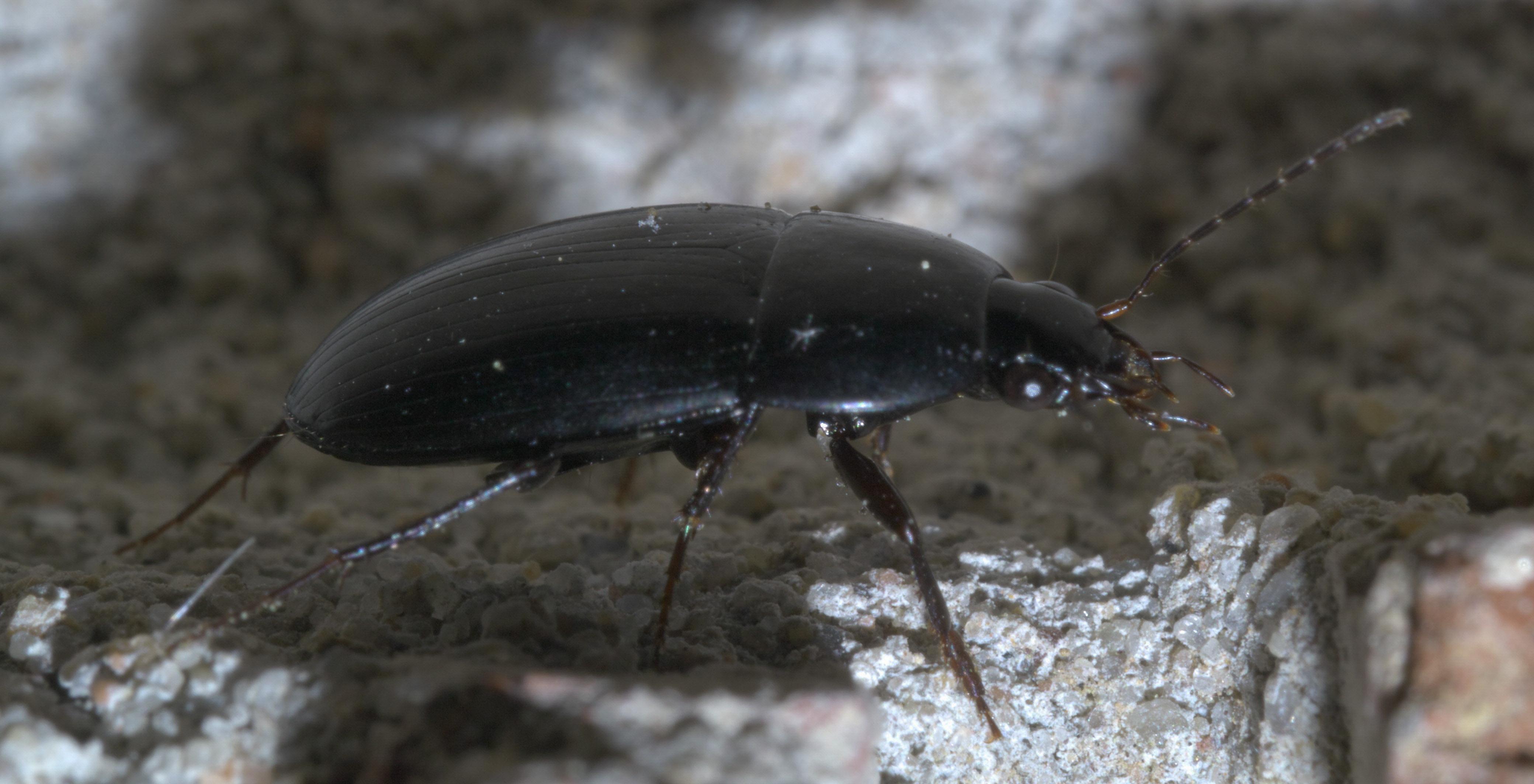 Oodes amaroides - Wikipedia
