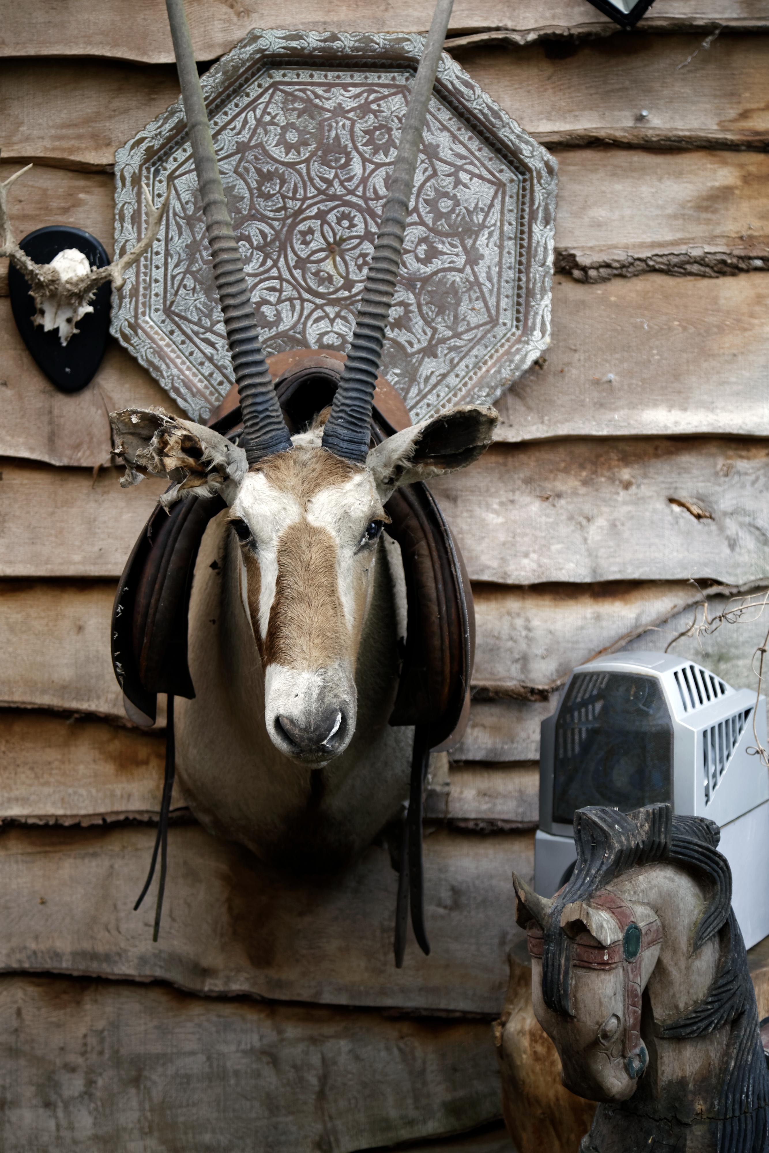 File Oryx Gazella Antelope Head Wall Mounted Taxidermy At Lower Beeding West