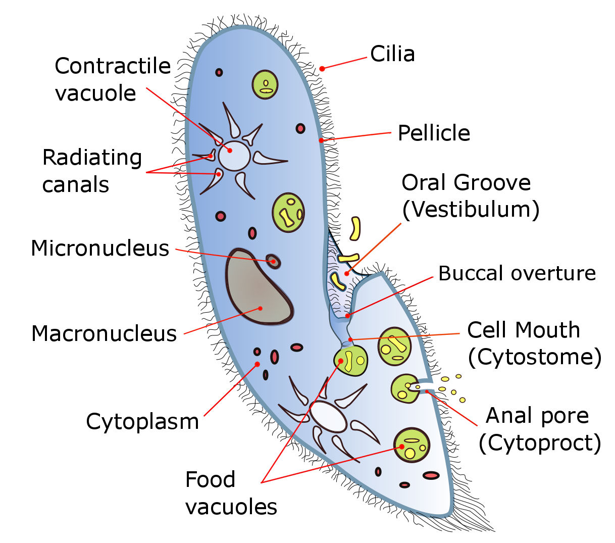 Paramecium asexual reproduction binary fission example