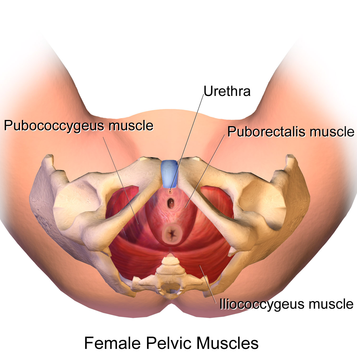 Filepelvic Muscles Female Inferiorg Wikimedia Commons