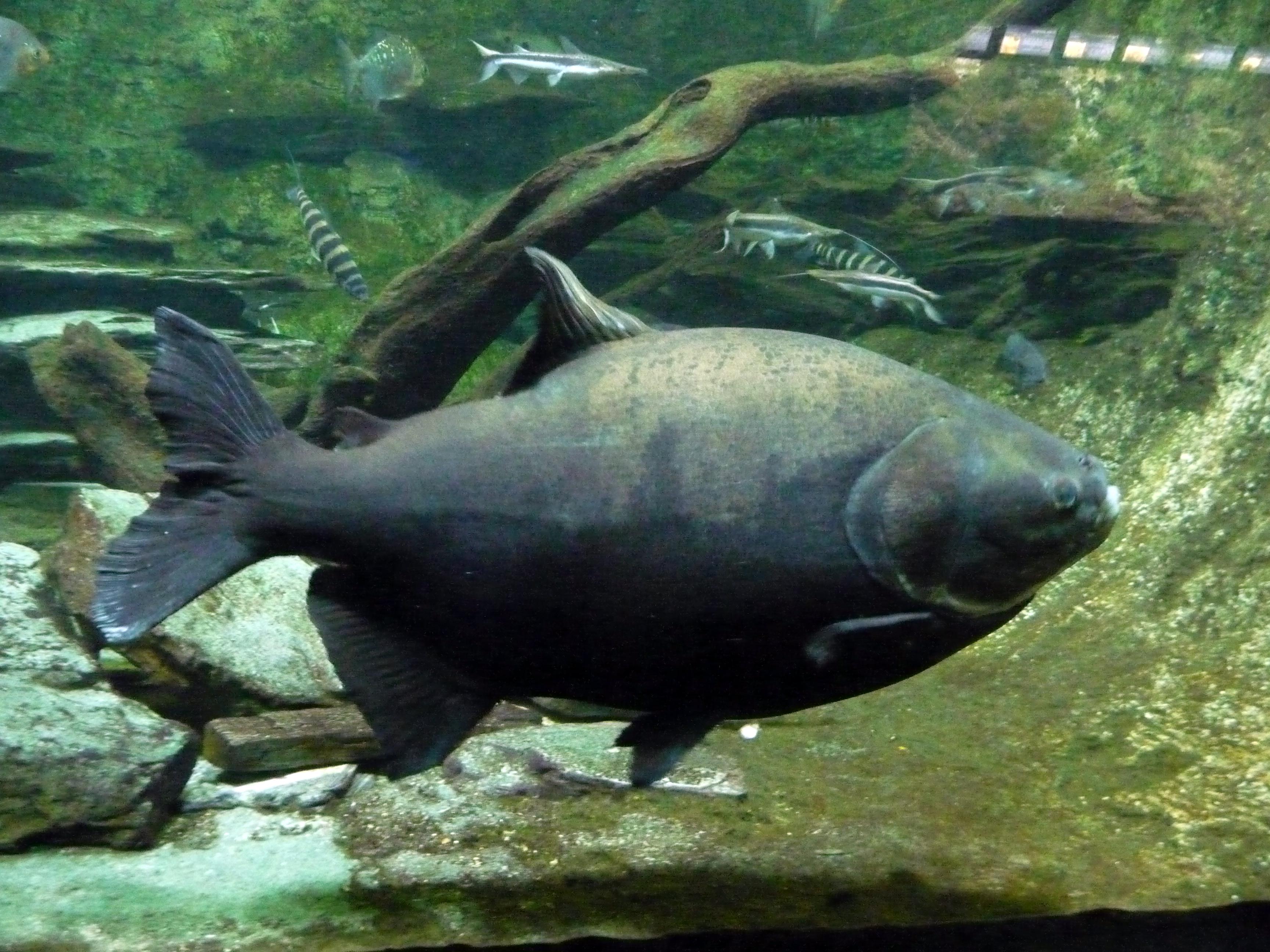 besoin d'identification de poisson Piaractus_brachypomus
