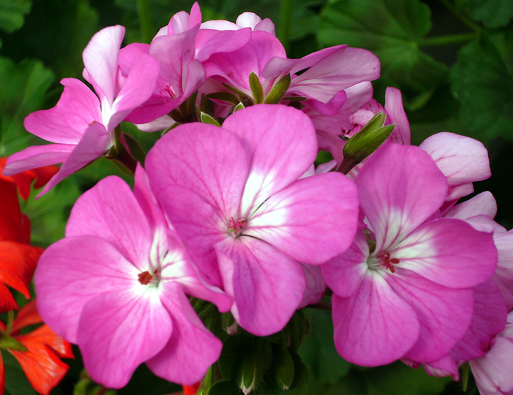 Filepink and white flowersg wikimedia commons filepink and white flowersg mightylinksfo Choice Image