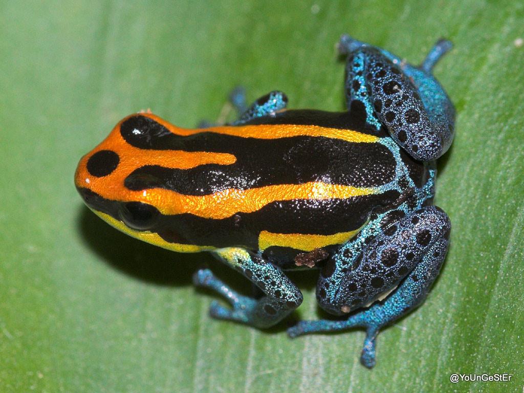 Ranitomeya amazonica, syn. Dendrobates amazonicus