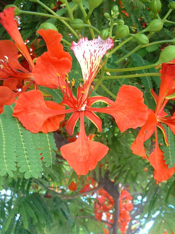 Royal Poinciana (Gulmohar) flower. Pic by Stephen Lea.