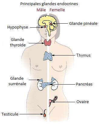 les glandes endocrines du corps humain