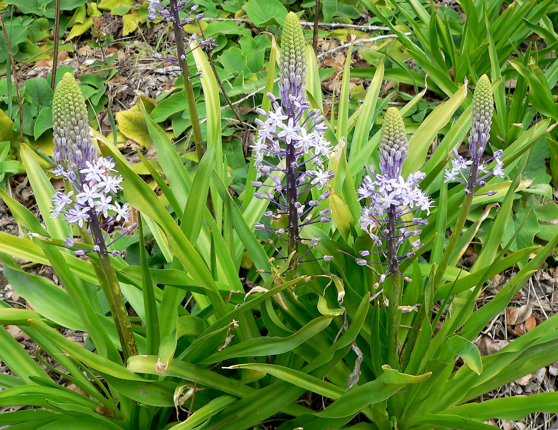 https://upload.wikimedia.org/wikipedia/commons/f/f7/Scilla_hyacinthoides_2.jpg