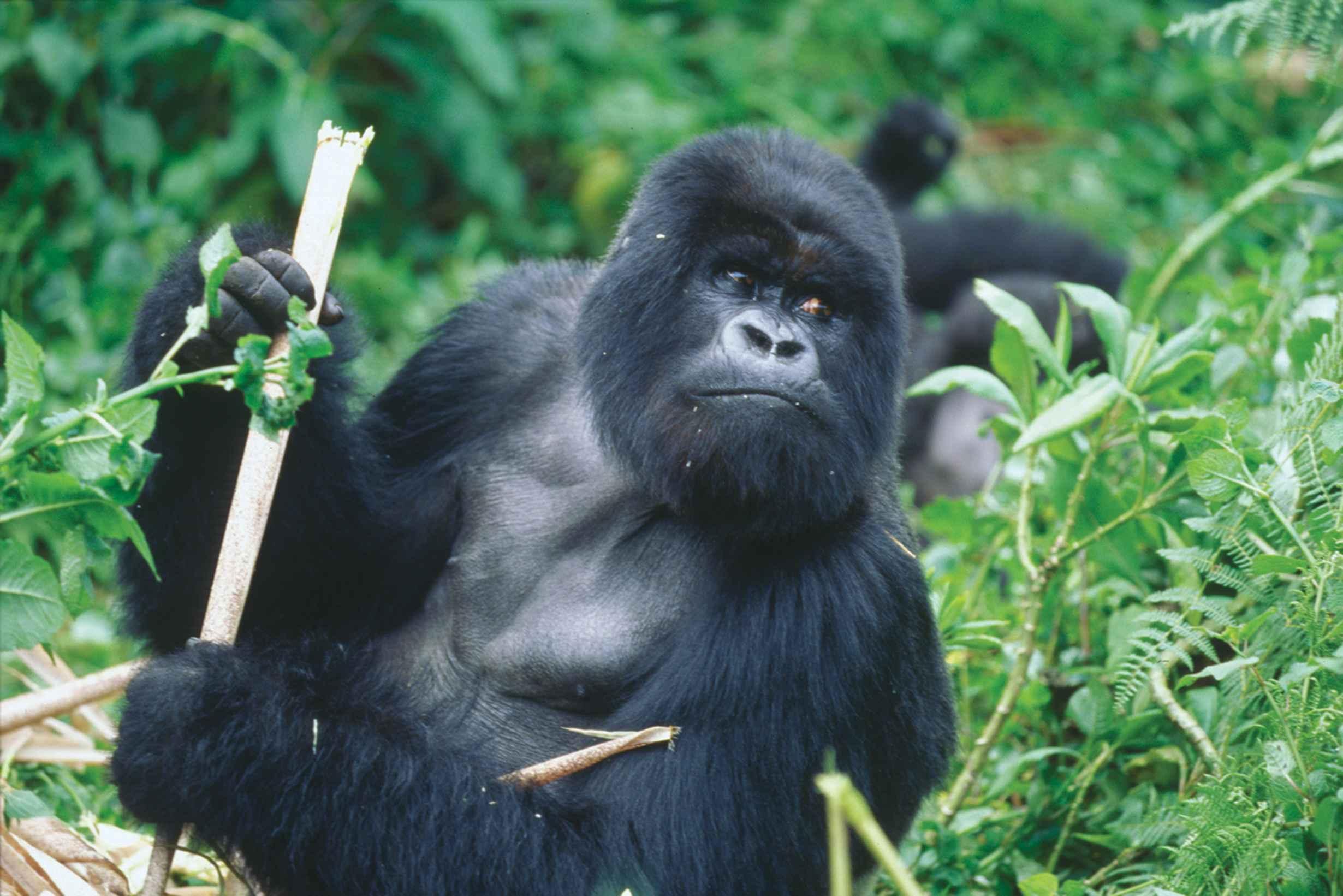 file silver back gorilla gorilla beringei jpg wikimedia commons