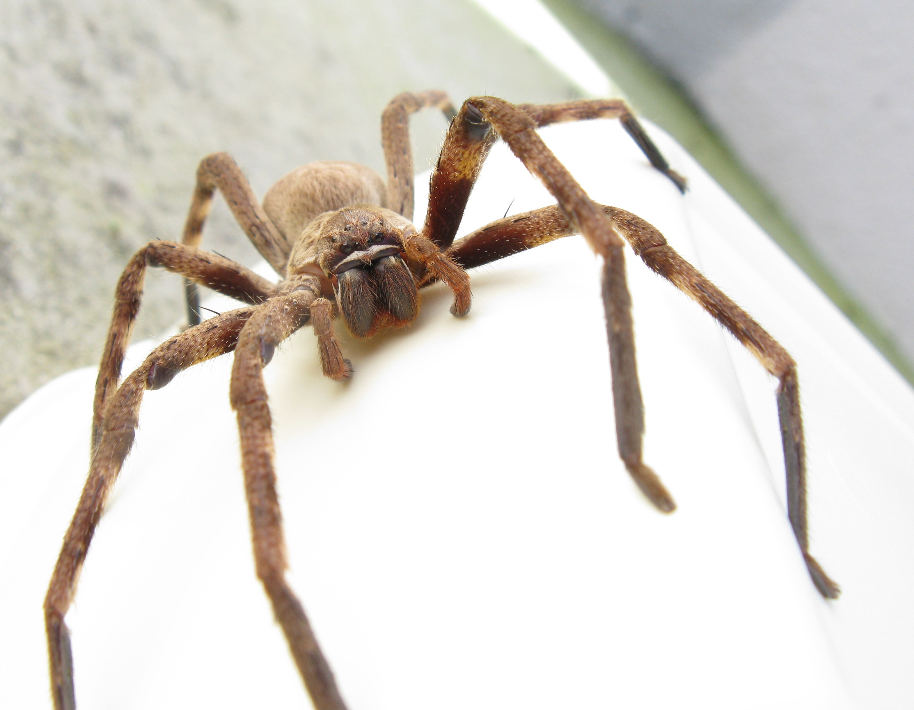 Huntsman Spider Wikipedia