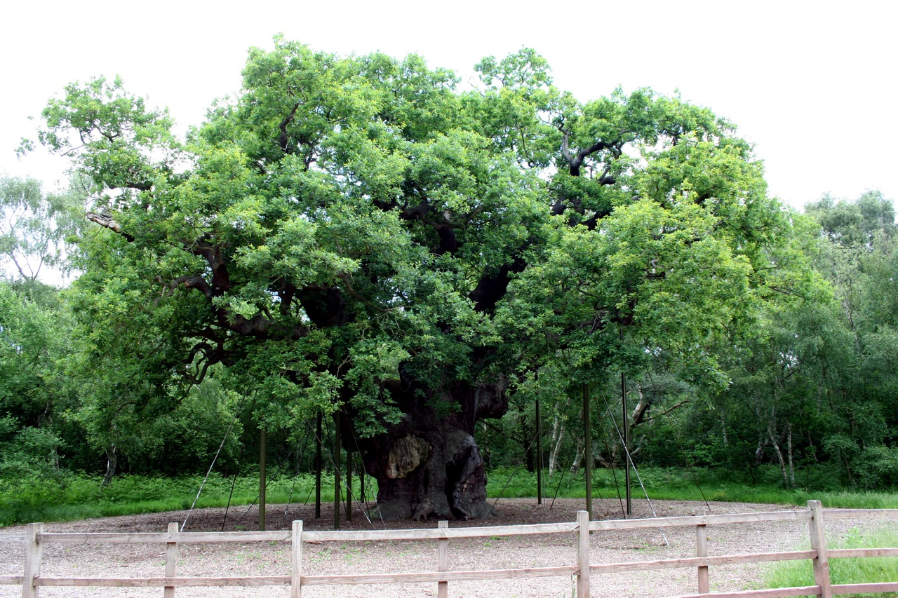oak forest latin dating site White oak latin name: quercus alba ring structure inside to assist in dating the years of construction of the site origin white-pine-mixed-oak forest in the.