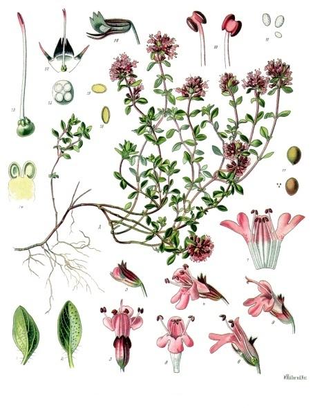 Mezei kakukkfű (Thymus serpyllum L.)
