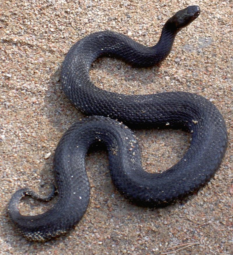 Фото глаз змеи