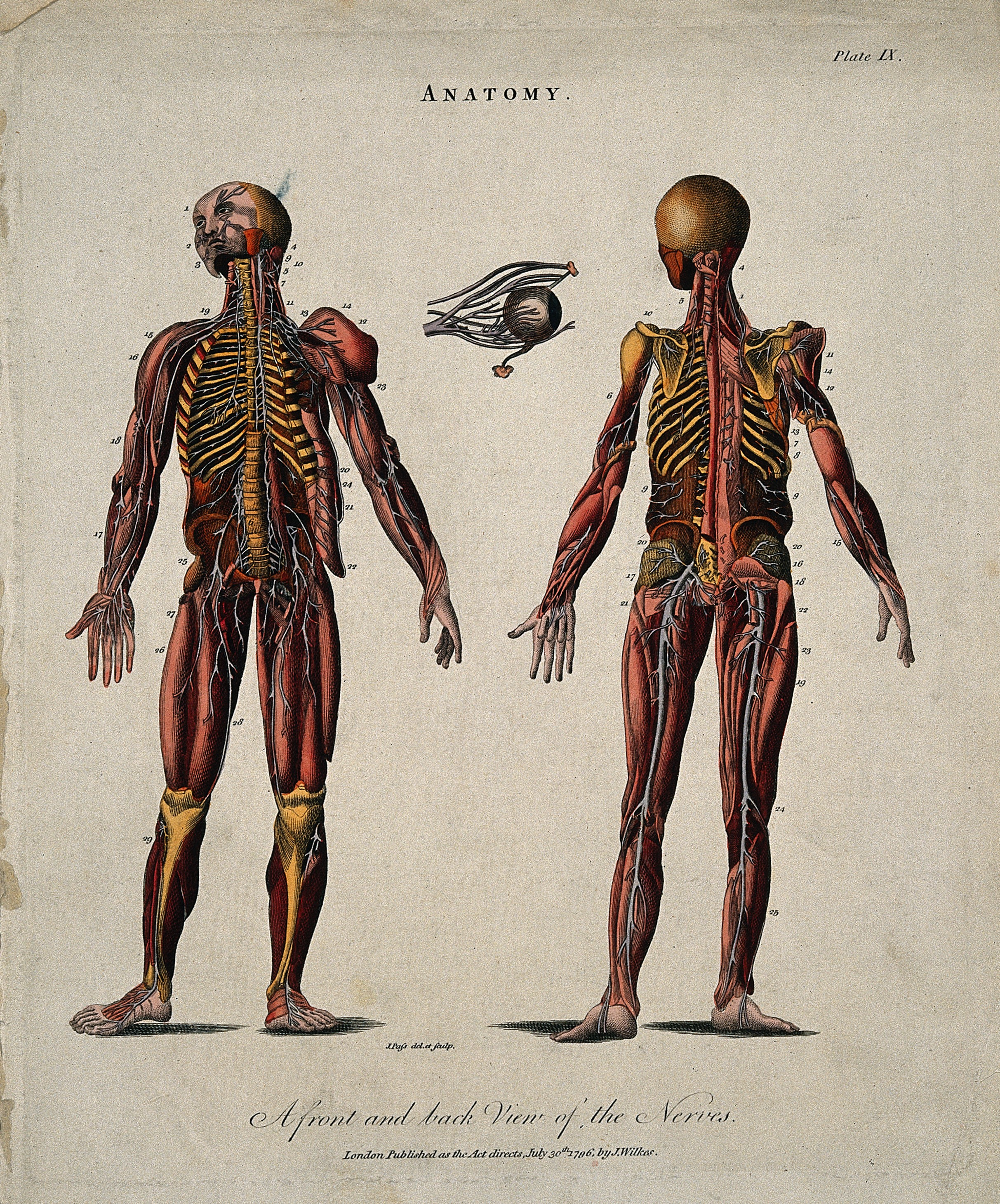 Filecorch Figures Showing The Nerves Front And Back Views Wi
