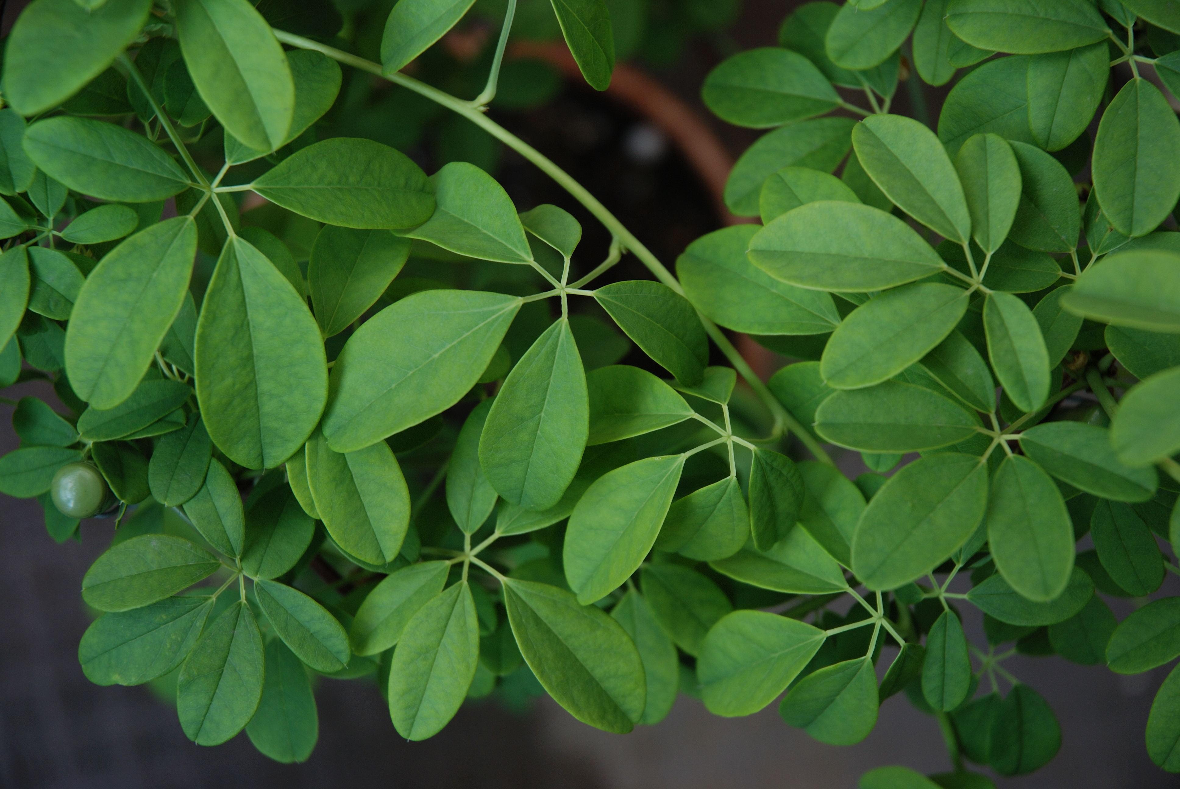 File:Akebia quinata leaf.jpg - Wikimedia Commons