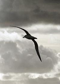 Albatrosses range over huge areas of ocean and regularly circle the globe.