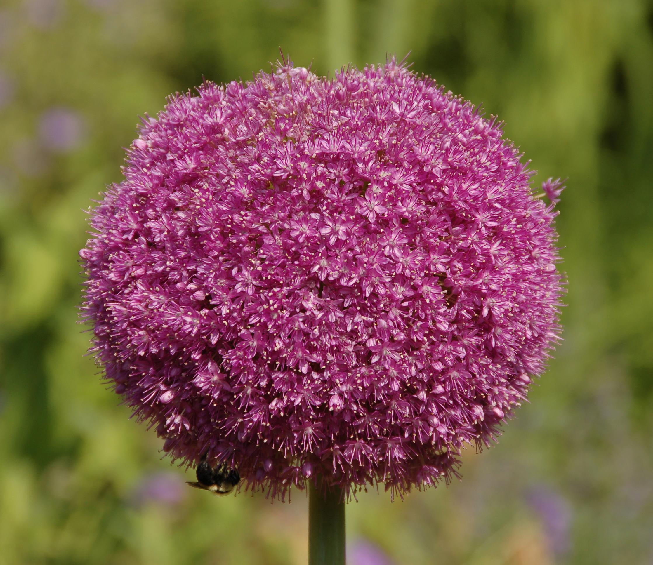 File Allium Lucy Ball Pink Flower Head 2236px Jpg