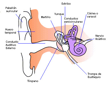 Archivo:Anatomia oido humano.png