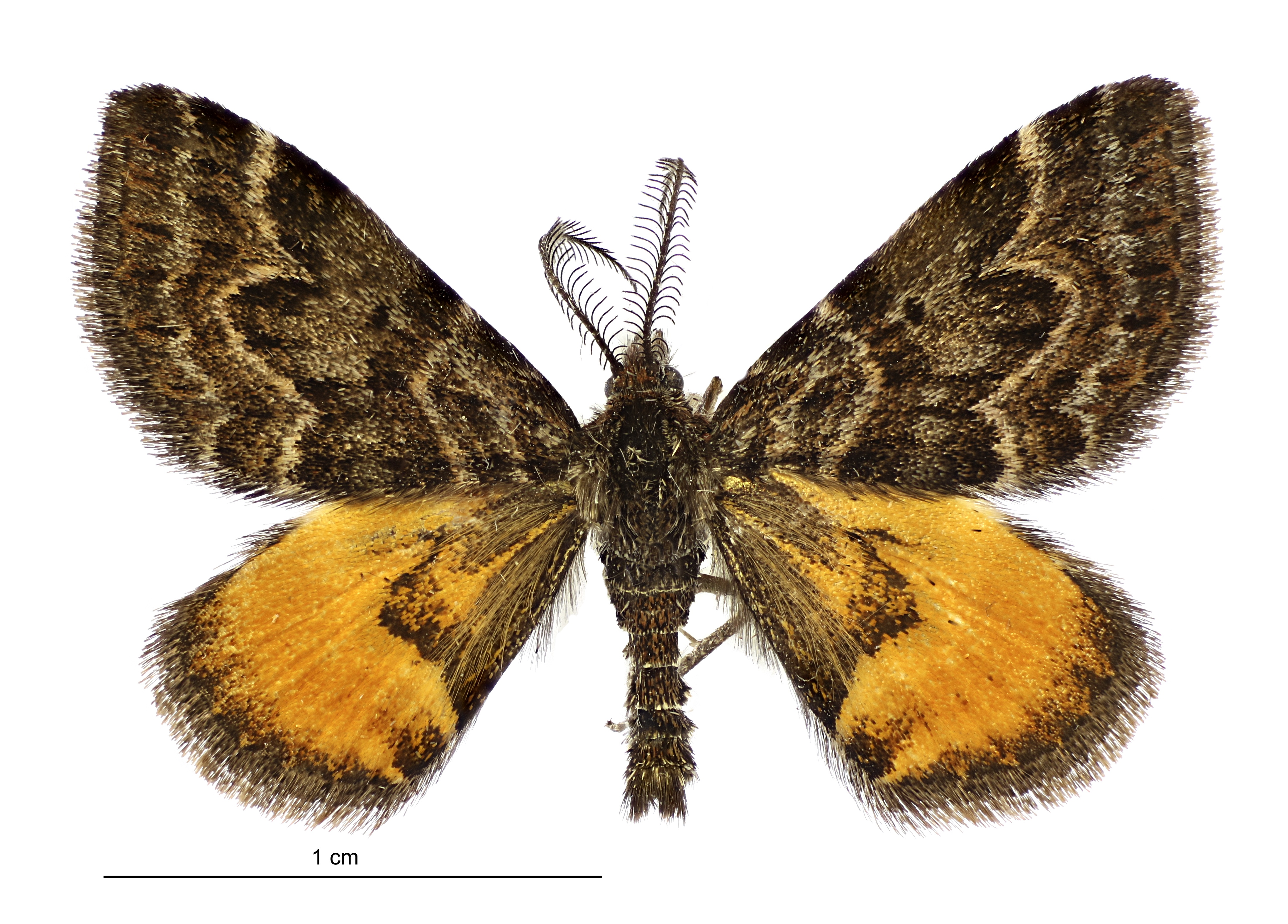 English Male Arctesthes avatar sex or gender: male organism