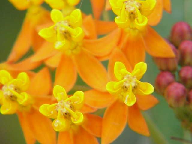 Strophanthus boivinii Quiz