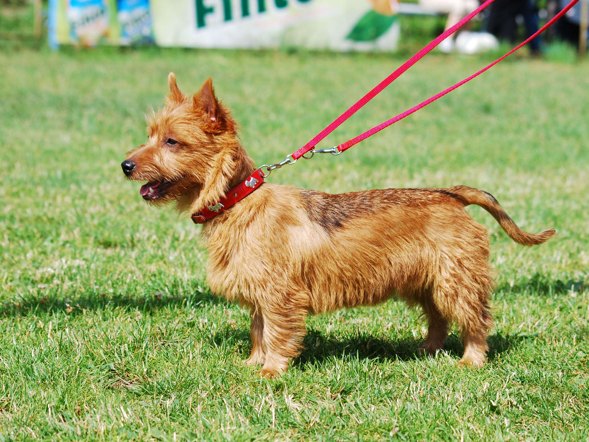 Australian Terrier - Pictures, posters, news and videos on your ... American Water Spaniel Dogtime