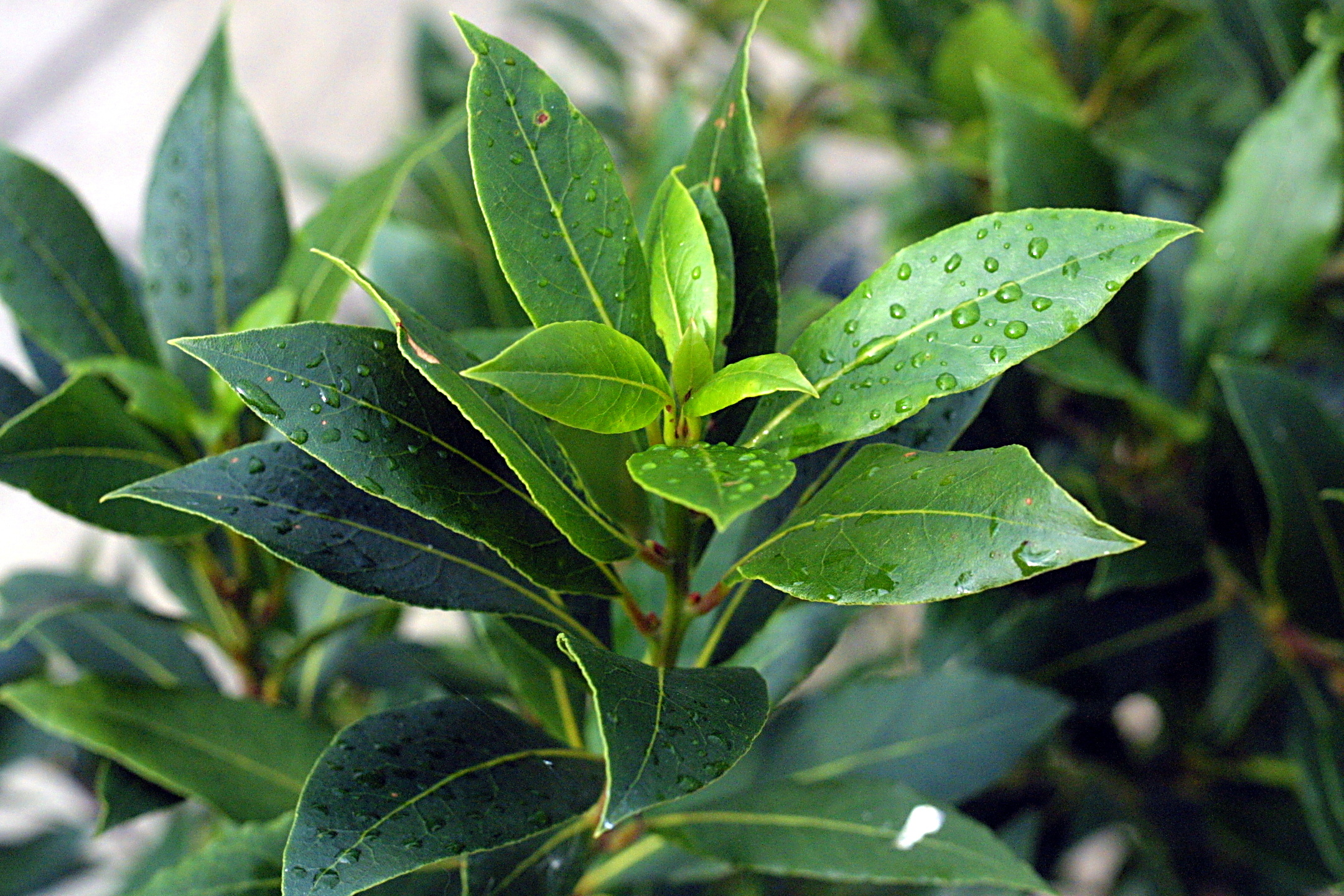 File:Bay tree leaves.jpeg - Wikimedia Commons