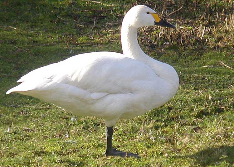 Ficheiro:Bewicks.swan.2.arp.750pix.jpg
