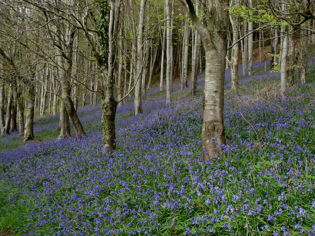 Bluebells Langdon Hill - geograph.org.uk - 412601
