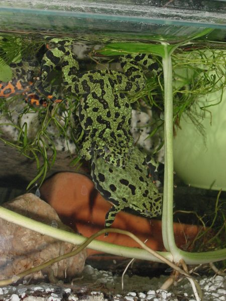 Chinese Fire Bellied Toad Amplexus