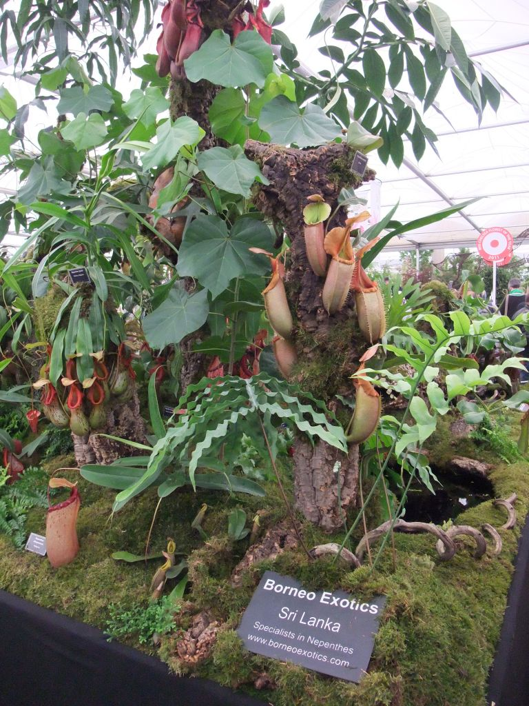 file borneo exotics nepenthes display  2011 chelsea flower